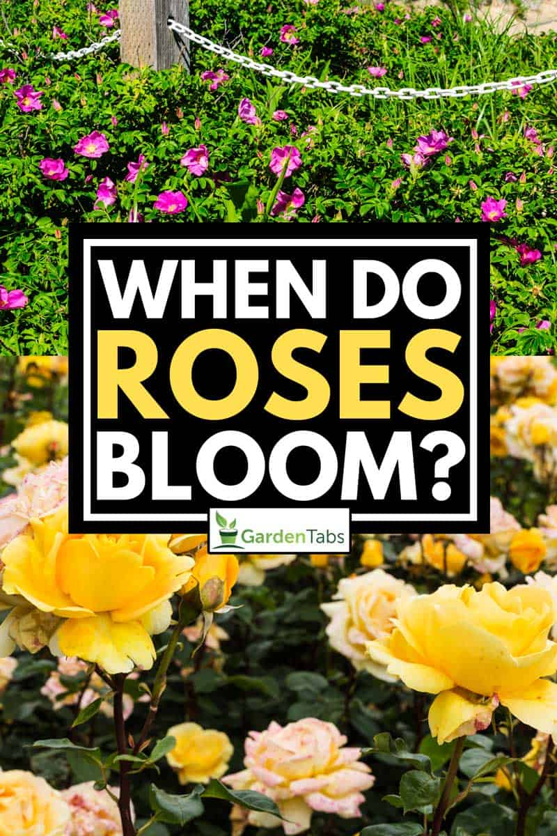 A collage of 2 varieties of roses bloom in garden, When Do Roses Bloom?