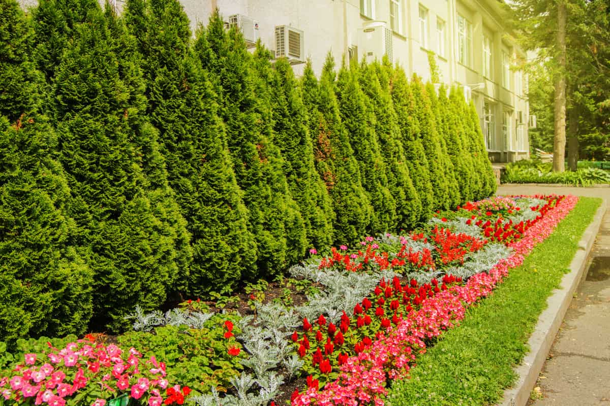 White cedar tree with colorful flowers growing in the landscaped garden