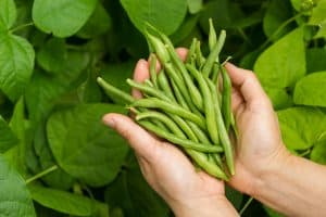 How To Grow Green Beans Indoors