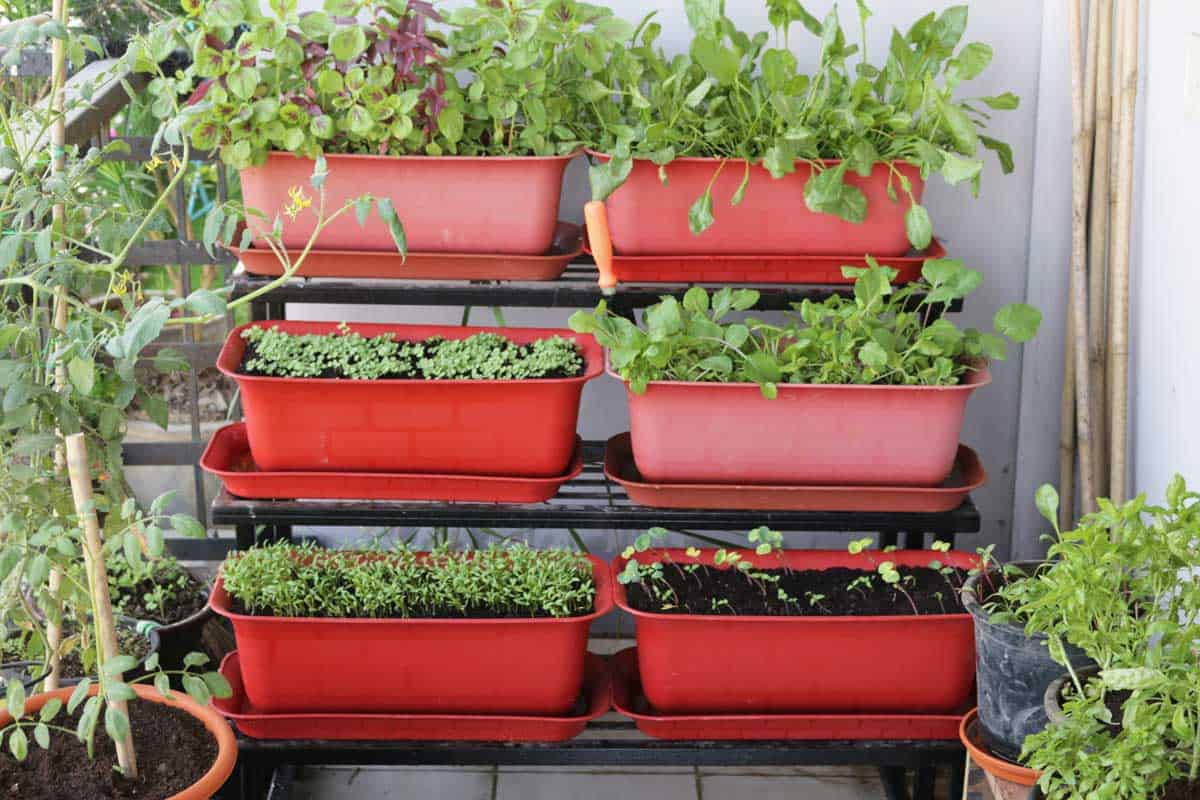 close-up of lettuce seedlings, Nasturtiums (Tropaeolum), Rocket, Spinach, Tomatoes, Onions and herbs including Basil, Mint and Parsley planted up in a metal tiered stand of plastic plant troughs