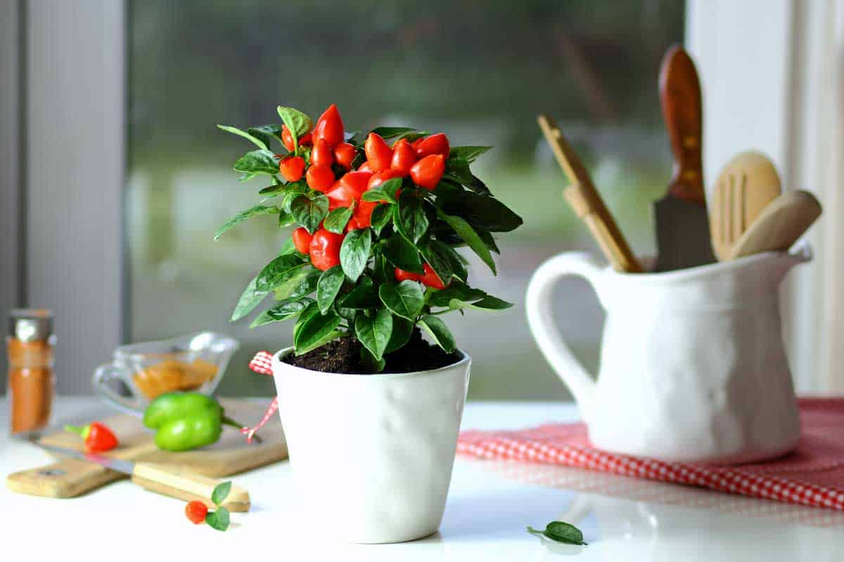 red pepper on the kitchen table in ceramic pots, How To Grow Chilies In Pots Indoors
