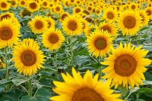 Are Sunflowers Perennials?