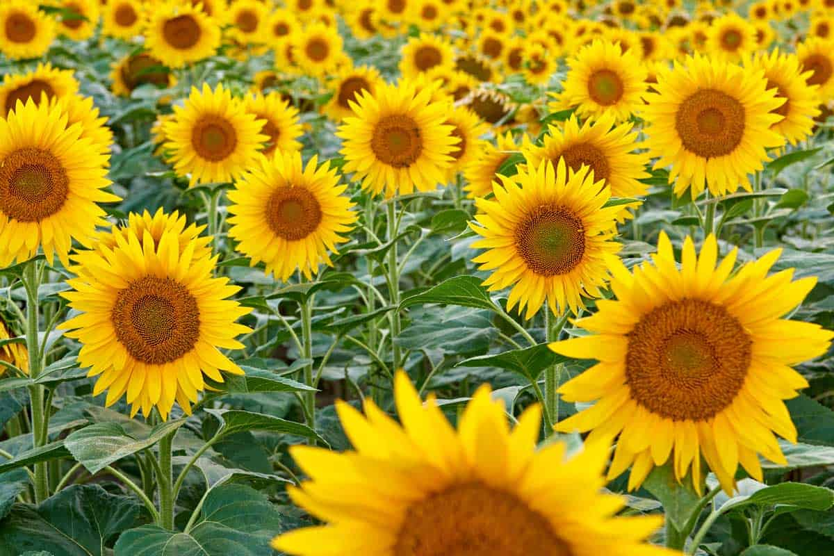 A golden field of sunflower on a farm, Are Sunflowers Perennials?