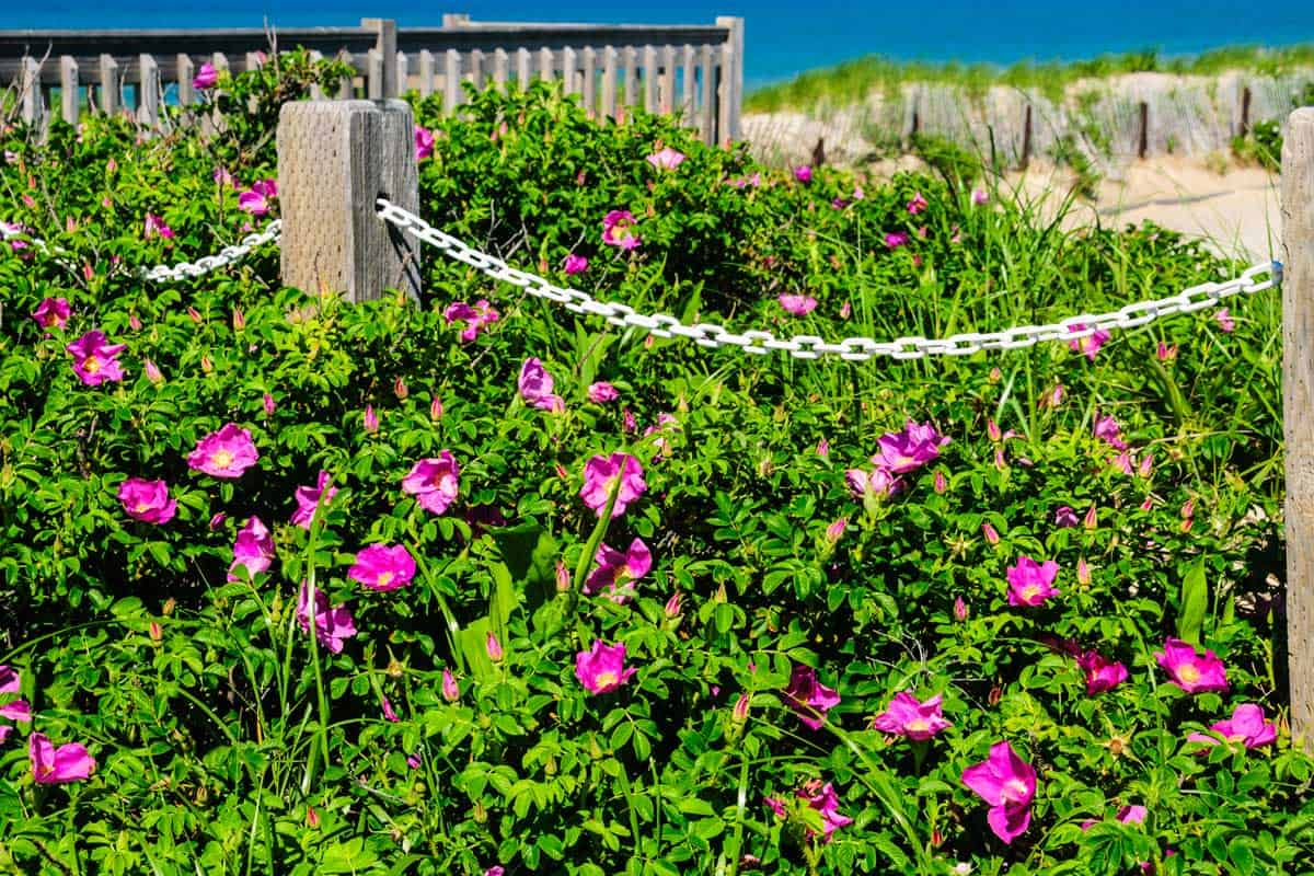 A large patch of rosa rugosa(beach roses) grow along a chain fence on Cape Cod
