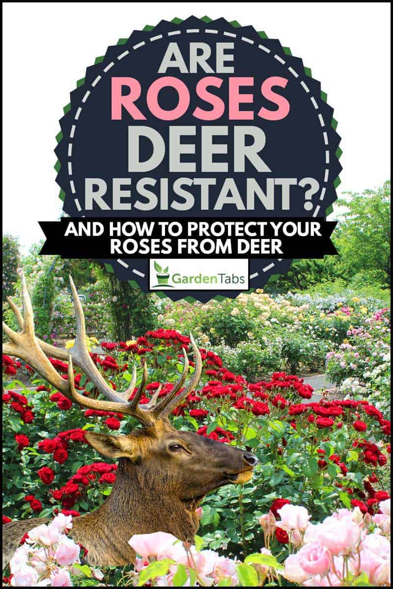 Colorful red and pink roses with a deer, Are Roses Deer-Resistant? [And How to Protect Your Roses From Deer]