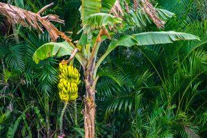 Banana tree with ripe yellow banana fruit, Can You Grow A Banana Tree From An Actual Banana?