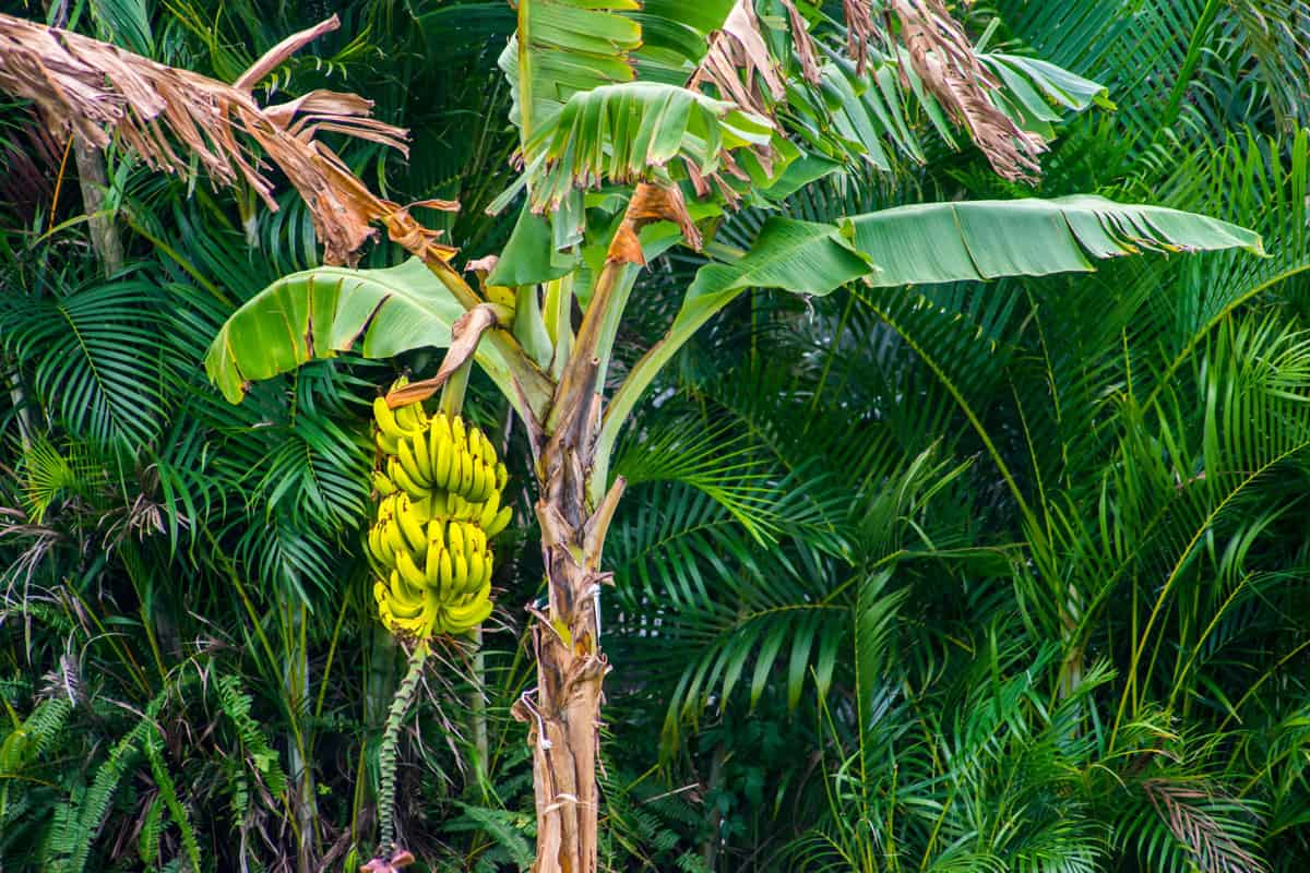 Banana tree with ripe yellow banana fruit, Can You Grow A Banana Tree From An Actual Banana?