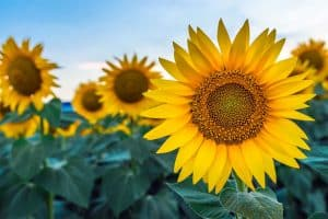 Are Sunflowers A Fall Flower?
