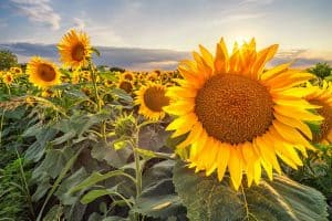 What's the Best Time to Plant Sunflowers?