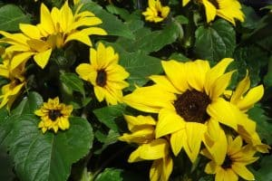 Dwarf Sunflowers: A Care Guide For Gardeners