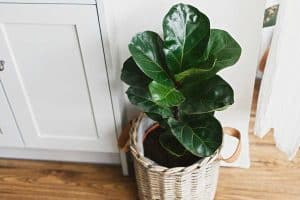 Big fiddle leaf fig tree in stylish modern pot at home kitchen, How Often Should You Water An Indoor Tree?