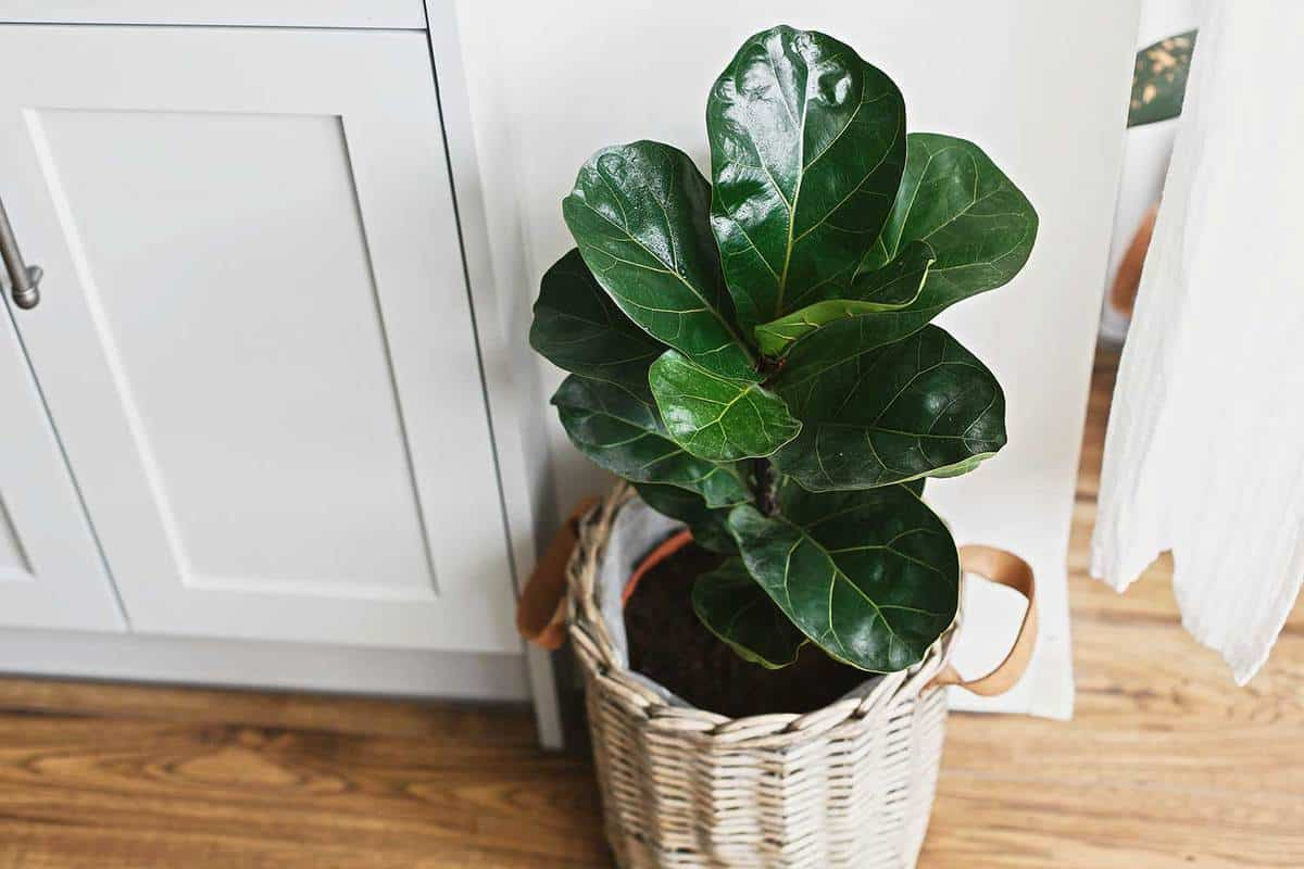 Big fiddle leaf fig tree in stylish modern pot near kitchen furniture