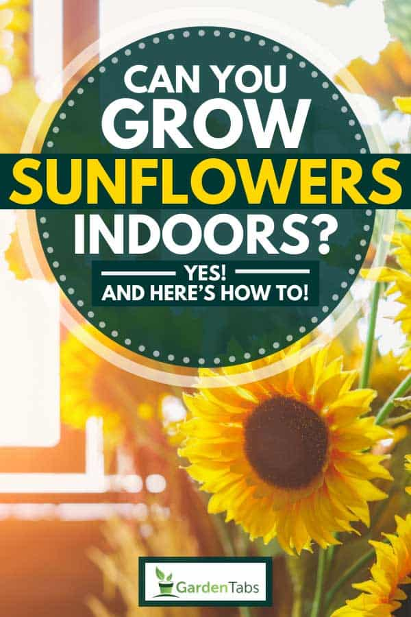 Beautiful sunflowers growing on the window at home, Can You Grow Sunflowers Indoors? [Yes! And Here's How To!]