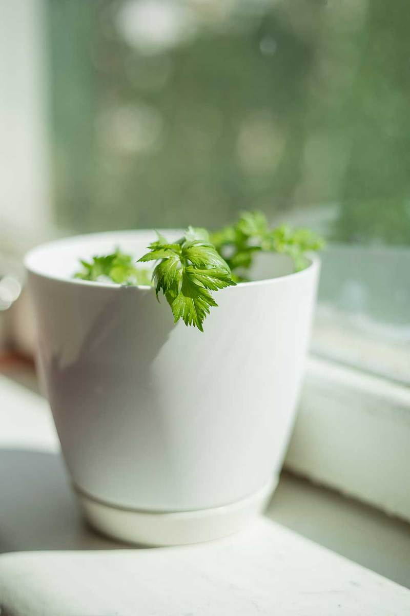 Celery sprouts in white pot on windowsill