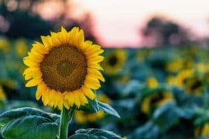 What's the Best Place to Plant Sunflowers?