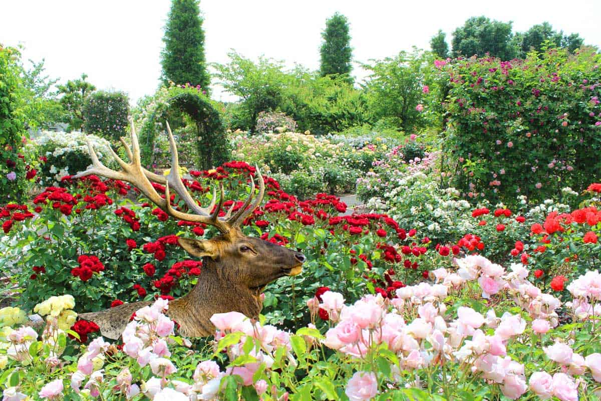 Colorful red and pink roses with a Deer walking around