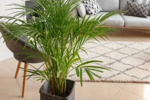 Decorative areca palm in interior of a modern living room