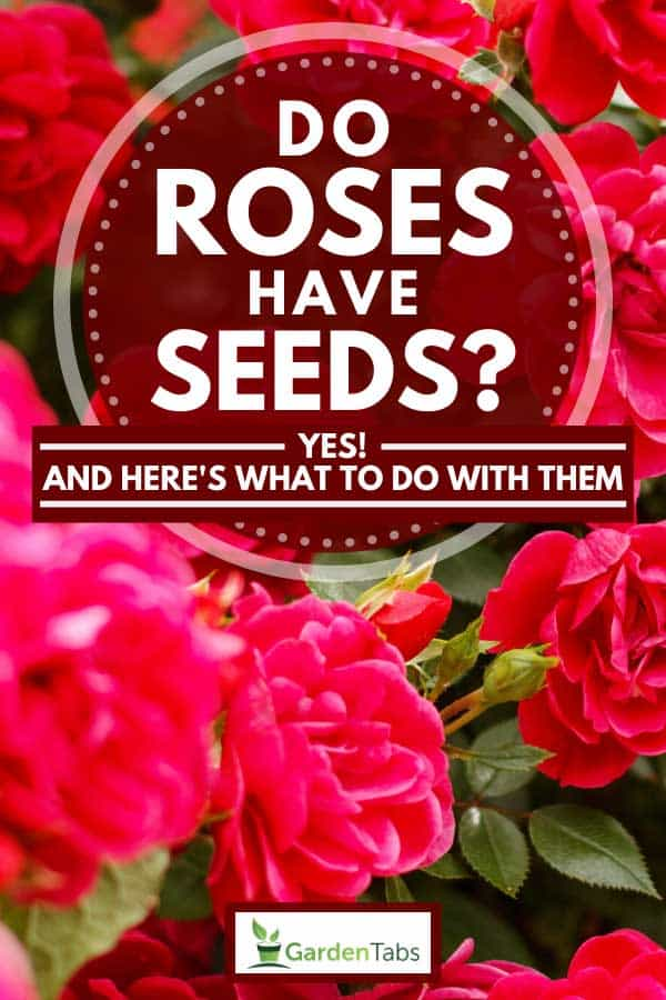 Beautiful pink rose bushes blooms on garden summer, Do Roses Have Seeds? [Yes! And Here's What To Do With Them]
