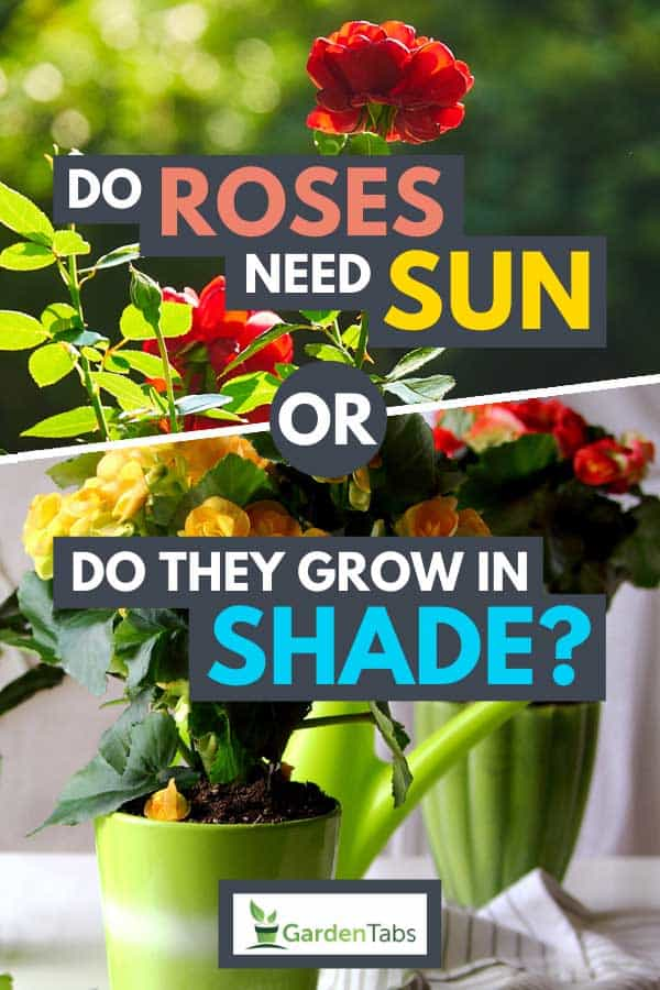 Collage of red roses growing with sunlight and colorful potted roses growing in shade, Do Roses Need Sun Or Do They Grow In Shade?