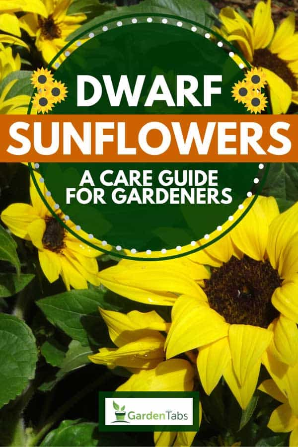 Beautiful yellow blooming dwarf sunflowers, Dwarf Sunflowers: A Care Guide For Gardeners