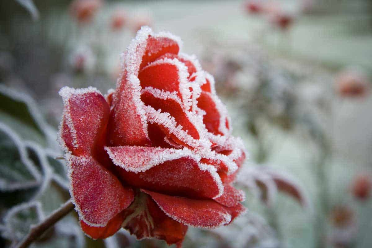 Frosted Red Rose in the depts of winter