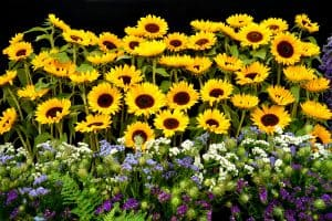 23 Sunflower Garden Ideas You'll Love