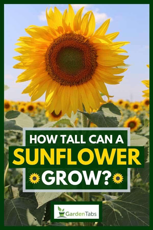 Horizontal view of a beautiful sunflower field, How Tall Can A Sunflower Grow?