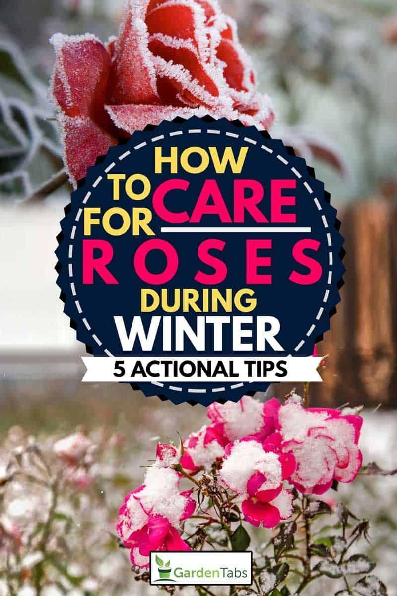 A collage of two roses in winter season, How To Care For Roses During Winter [5 Actionable Tips]