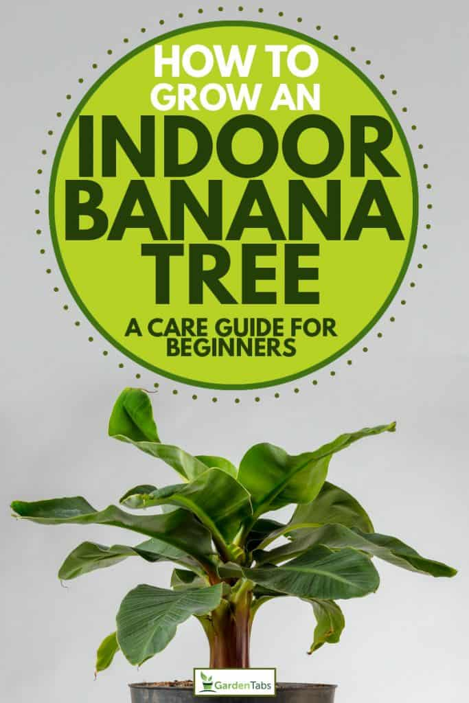 Small Cavendish banana tree planted on a pot, How to Grow An Indoor Banana Tree [A Care Guide For Beginners]
