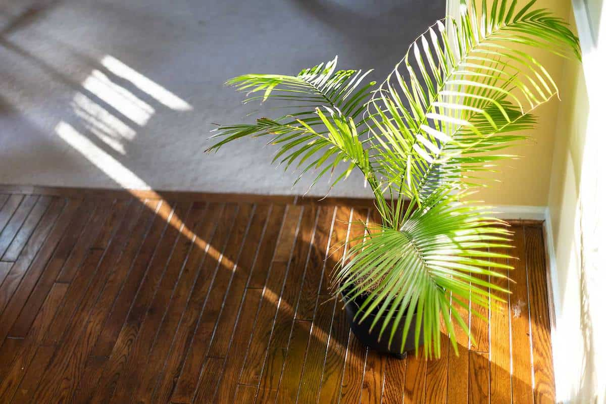 Indoor palm plant decoration with potted pot on corner of wooden floor in room by wall and sunlight