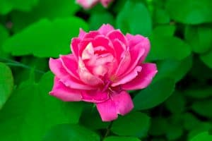 11 Types of Knock Out Roses