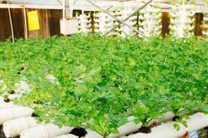 How To Grow Celery Indoors [8 Actionable Steps]