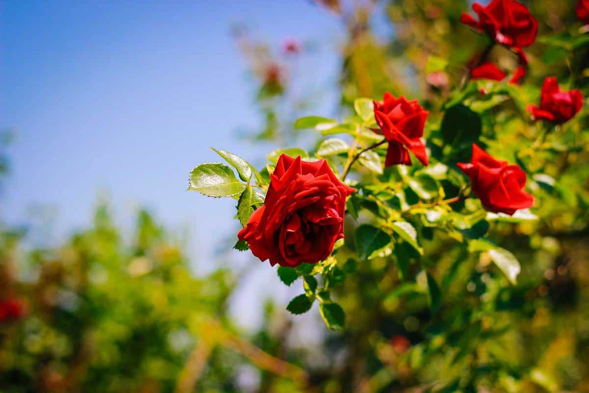 Red rose in the nature blossoming