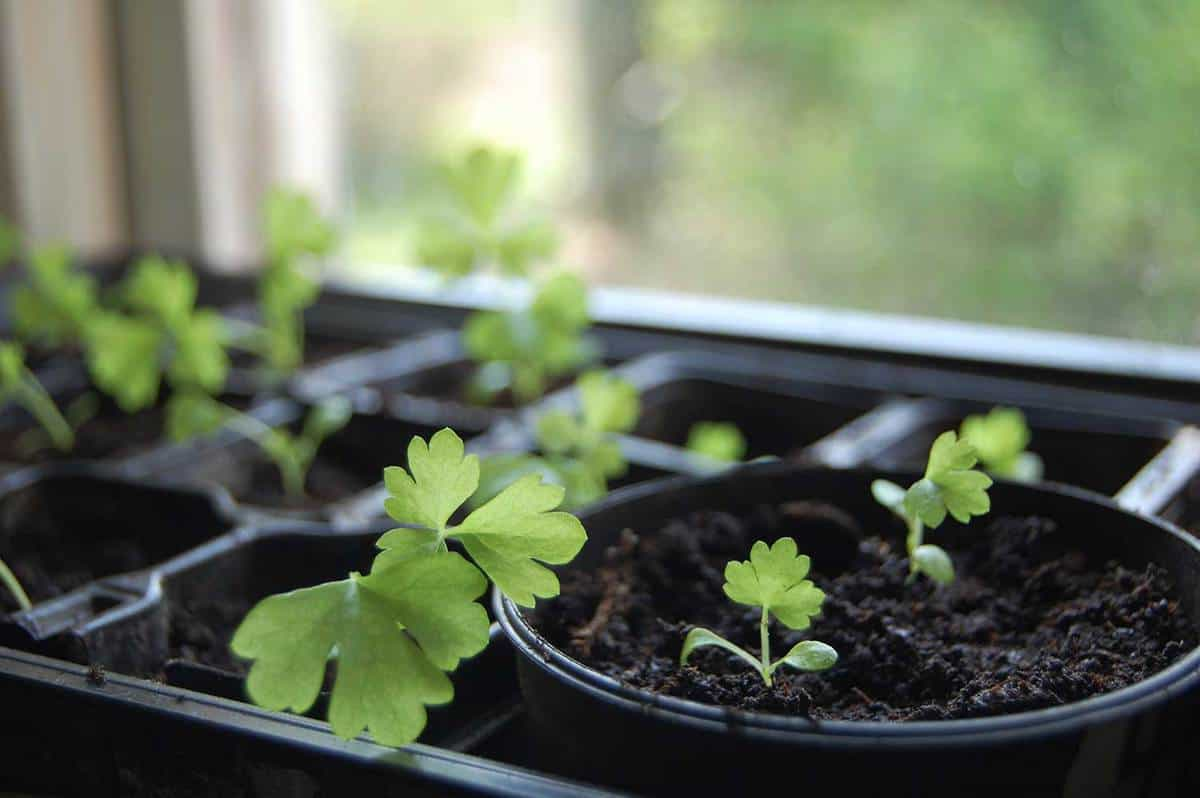 Small homemade celery plants standing in a window
