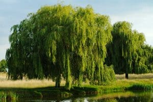 Weeping willow tree on a bright sunny day, 15 Trees For Wet Clay Soil That Are Great For Landscaping