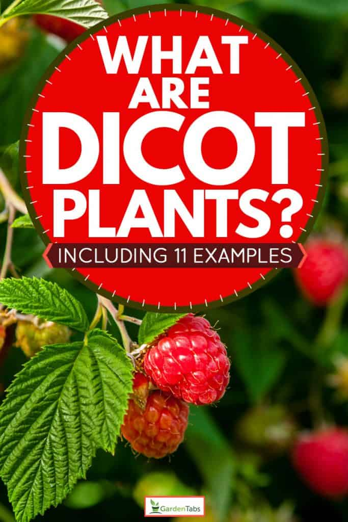 Delicious ripe raspberries on plant, What Are Dicot Plants? [Inc. 11 Examples]