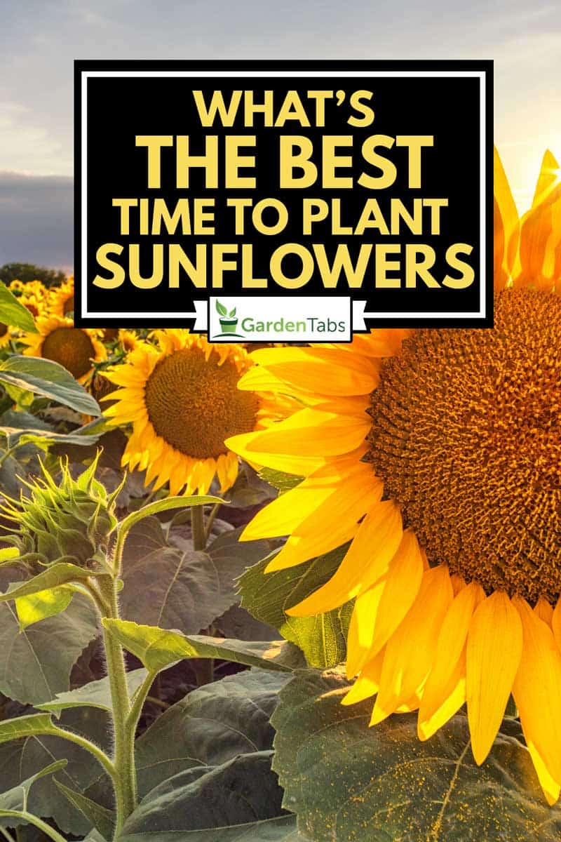 Beautiful sunflower field panorama in sunset in summer, What's the Best Time to Plant Sunflowers?