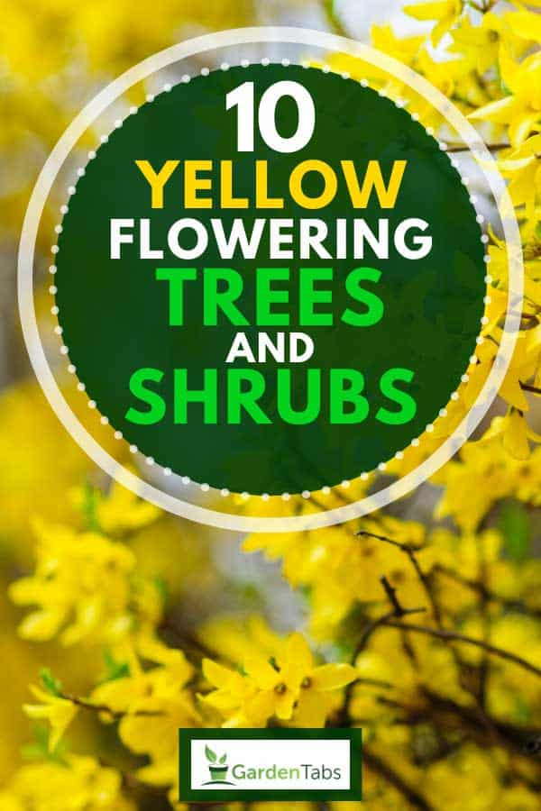 Forsythias also known as Easter Tree, 10 Yellow Flowering Trees and Shrubs