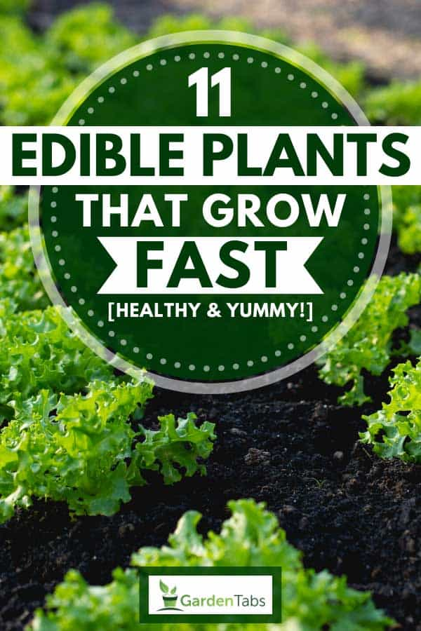 Green lettuce growing in the vegetable garden, 11 Edible Plants That Grow Fast [Healthy & Yummy!]