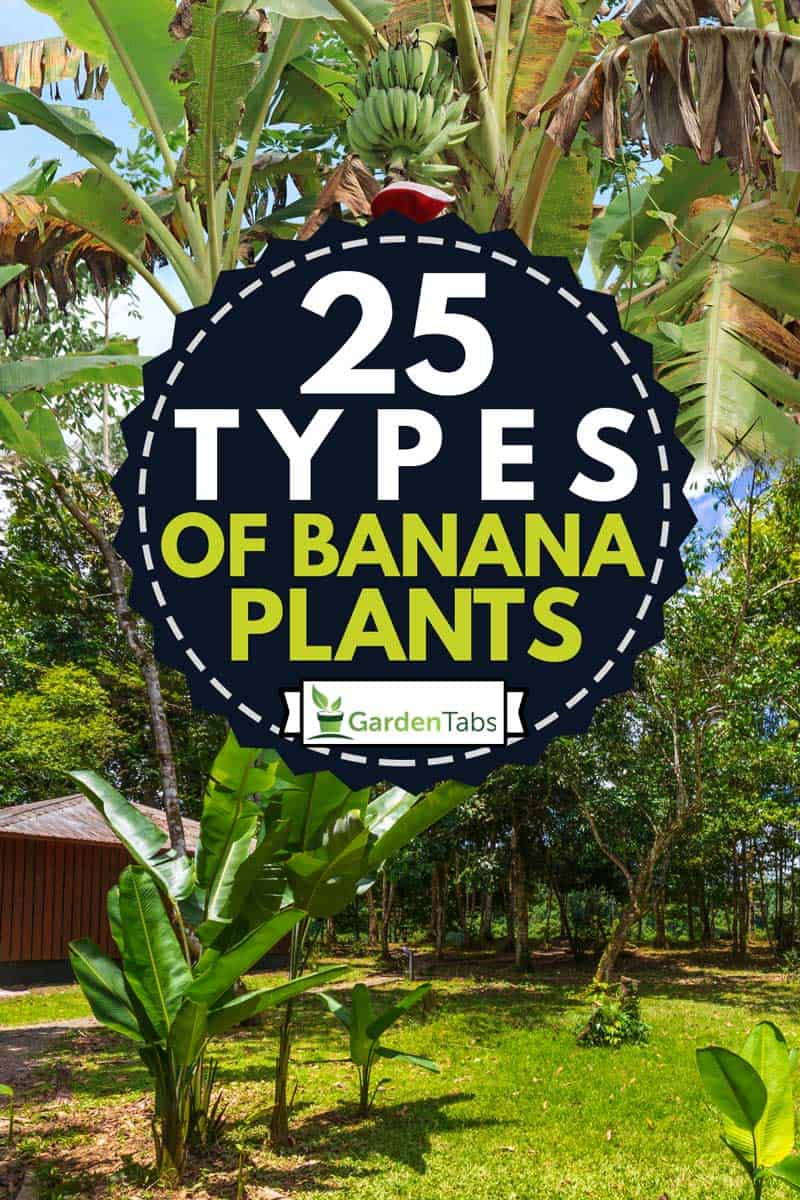 A collage of Tropical Banana Tree with Its Fruits and Inflorescence and a young banana tree planted at the back of a wooden house, 25 Types of Banana Plants
