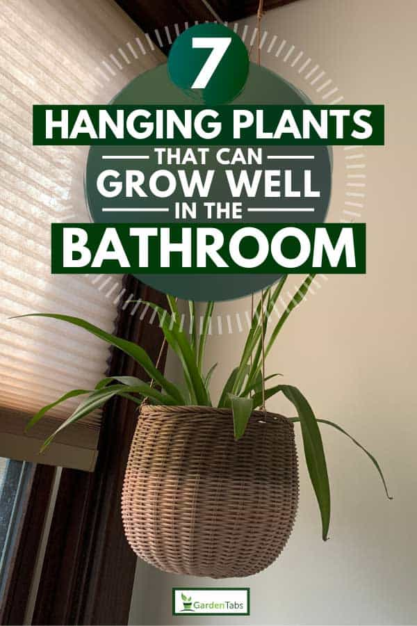Spider plant in hanging basket screwed in ceiling, 7 Hanging Plants that Can Grow Well in the Bathroom