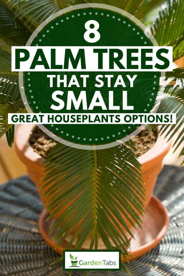Sago Palm in a pot on a balcony table, 8 Palm Trees That Stay Small [Great Houseplants Options!]
