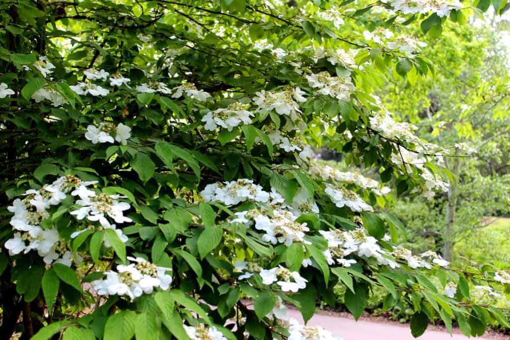 A Viburnum garden blooming nicely in the hot sun