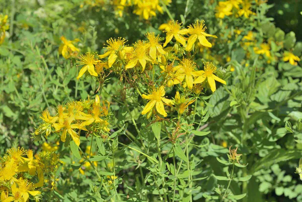 A close up of the blooming medicinal herb hypericum (Hypericum perforatum)