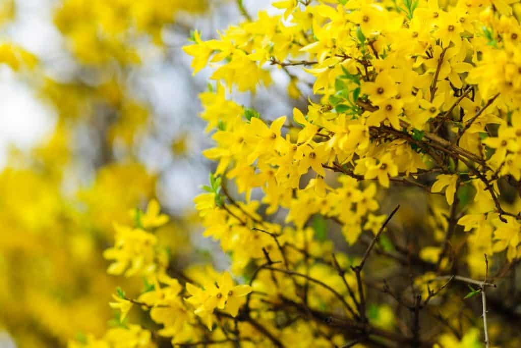 A close up photograph of a Forsyhthia