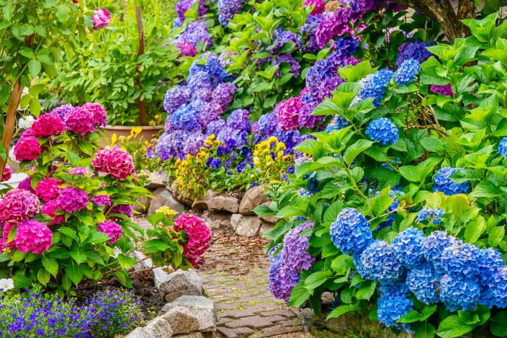 A garden of Hydrangea flower blooming nicely