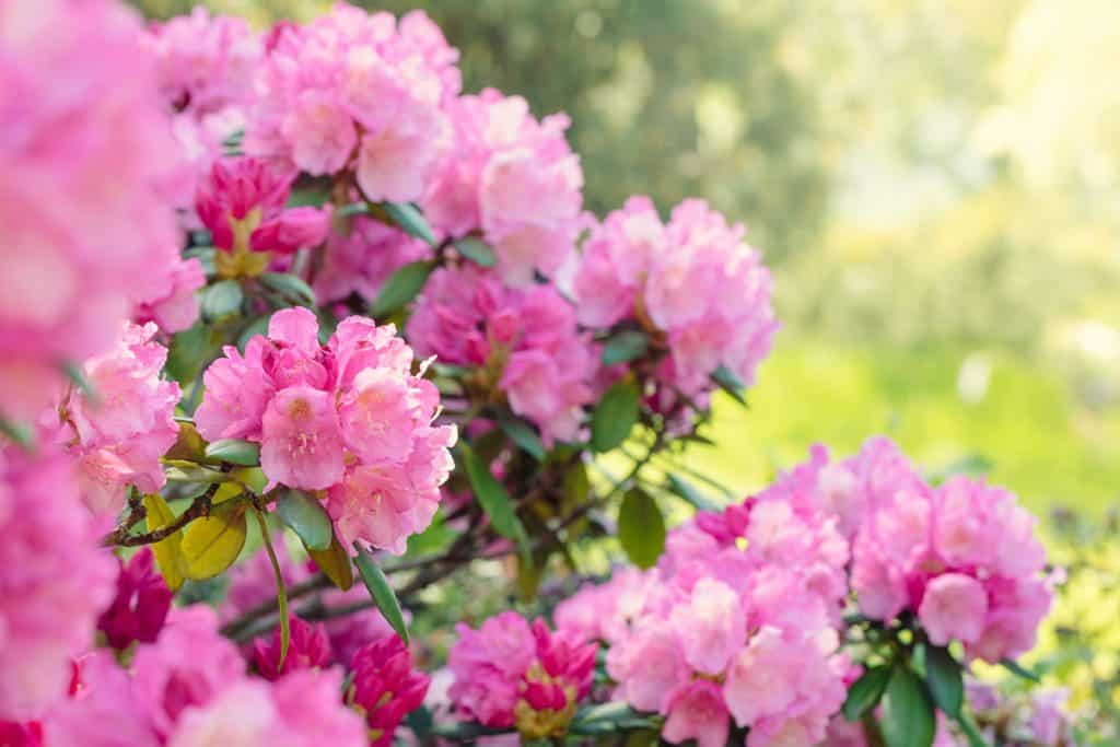 A gorgeous pink Rhododendron blooming in a Garden