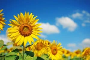 Are Sunflowers Hardy? [Here's What This Plant Can Stand!]
