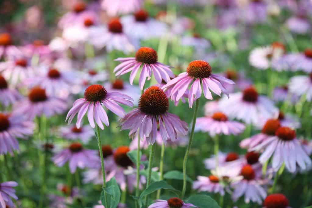 A wide field of purple Echinacea