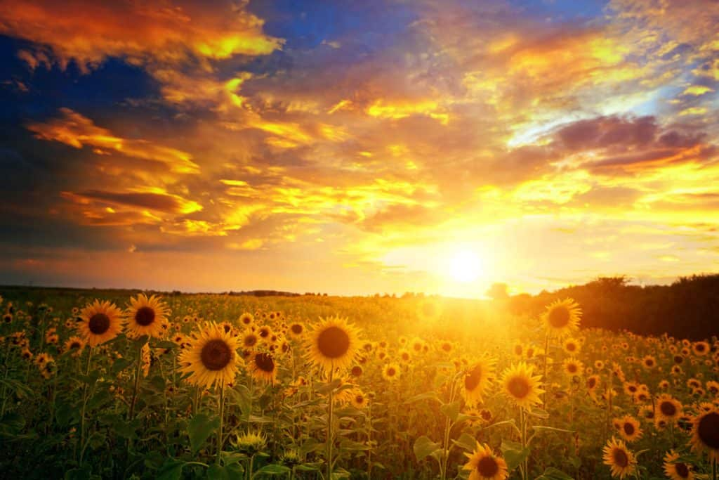 A wide plantation of sunflower photographed on sunset